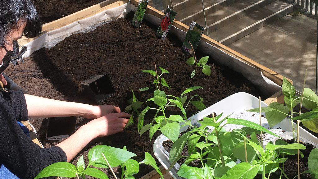 Otaniemen lukiolaiset istuttavat kasveja lukion parvekkeelle.